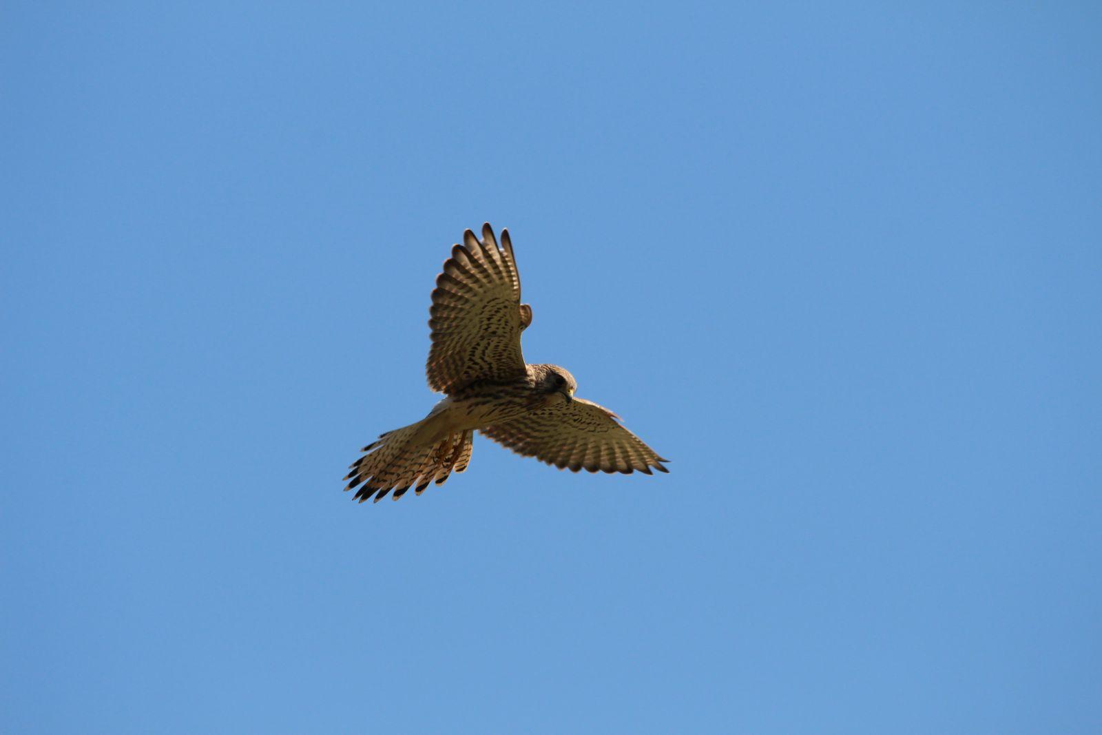 Der Falke / Die Falken 2111