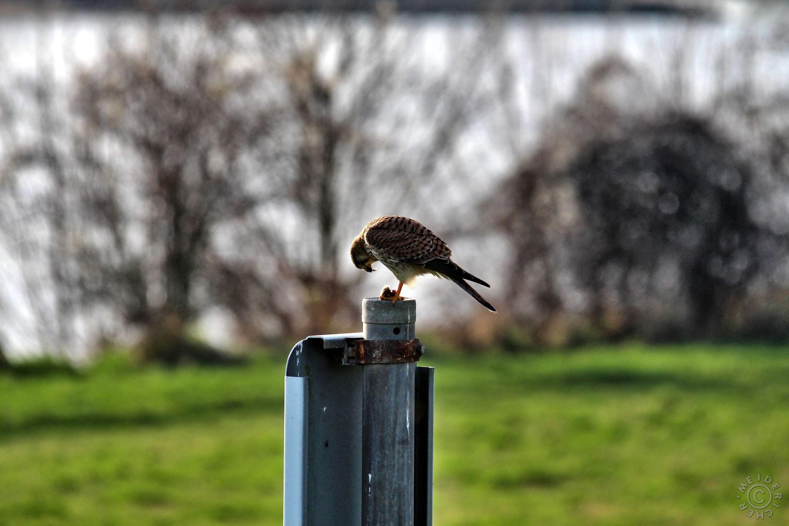 Der Falke / Die Falken 214