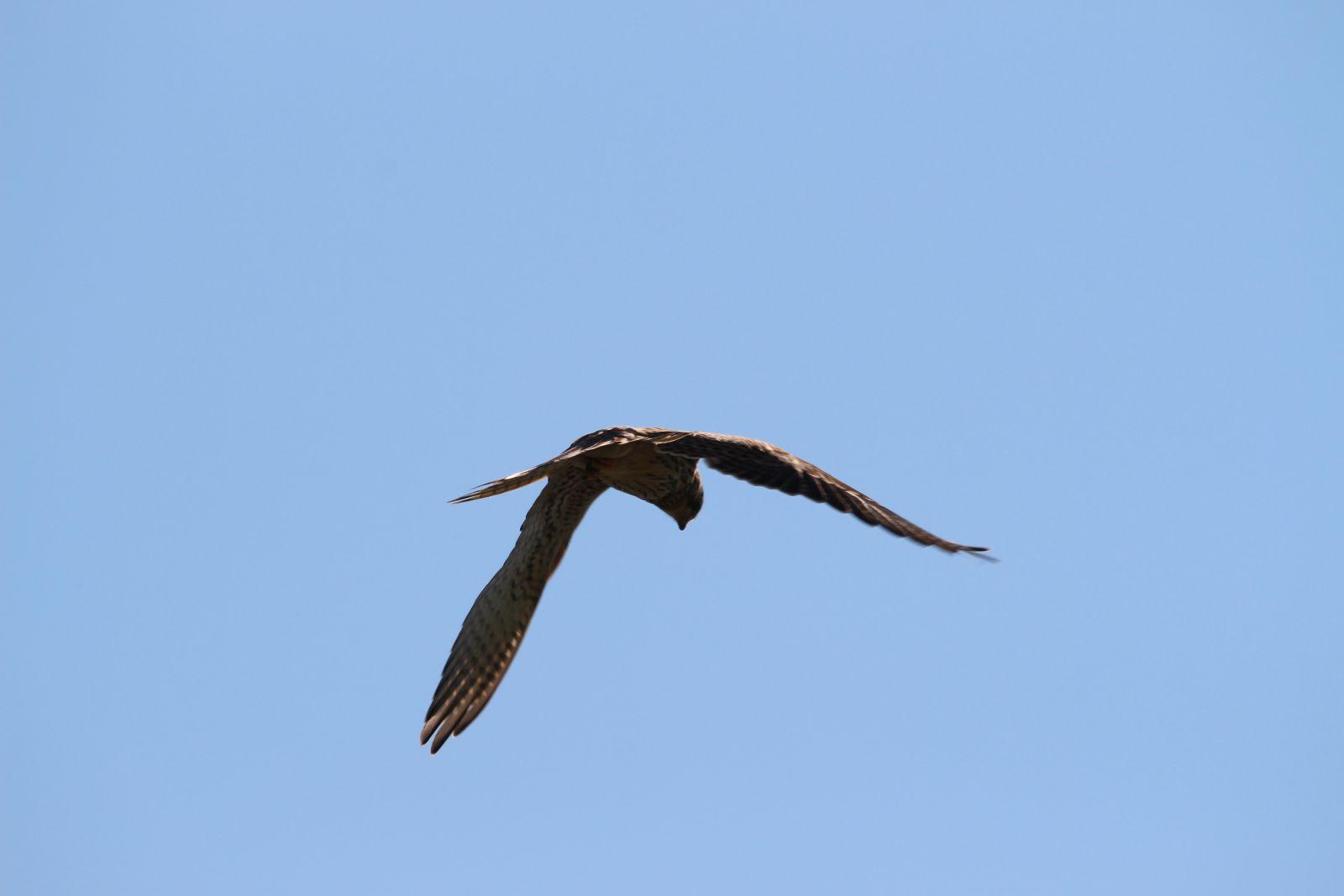 Der Falke / Die Falken 2211