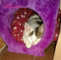 misao - MISAO  femelle européen tigré et blanc née le 11 08 2016 14770610