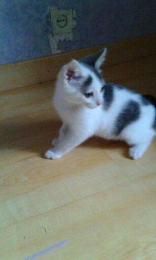 misao - MISAO  femelle européen tigré et blanc née le 11 08 2016 14771514