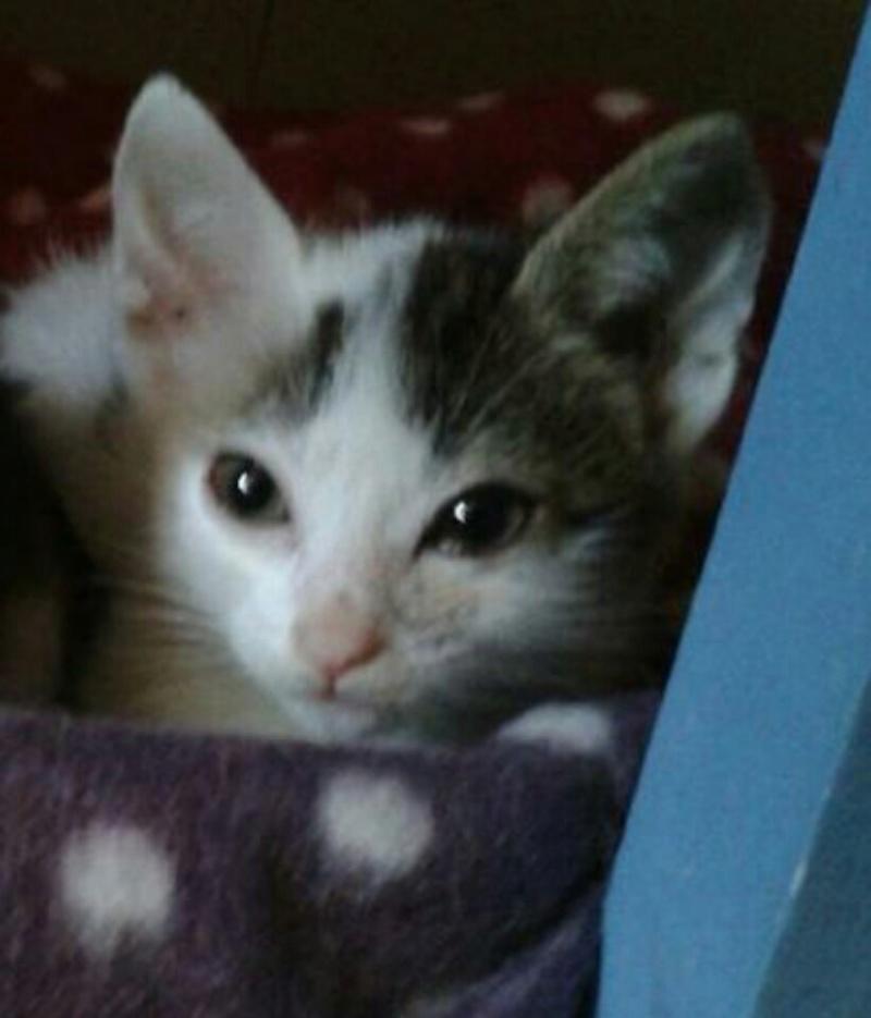 misao - MISAO  femelle européen tigré et blanc née le 11 08 2016 Img_2021