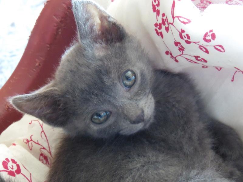 mikan - MIKAN mâle européen bleu né le 20 08 2016 Sam_3110