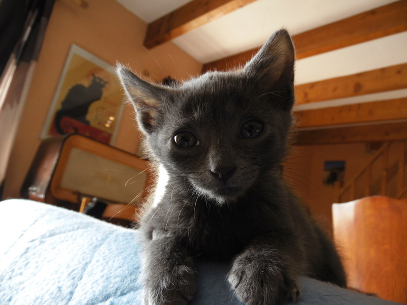 mikan - MIKAN mâle européen bleu né le 20 08 2016 Sam_3112