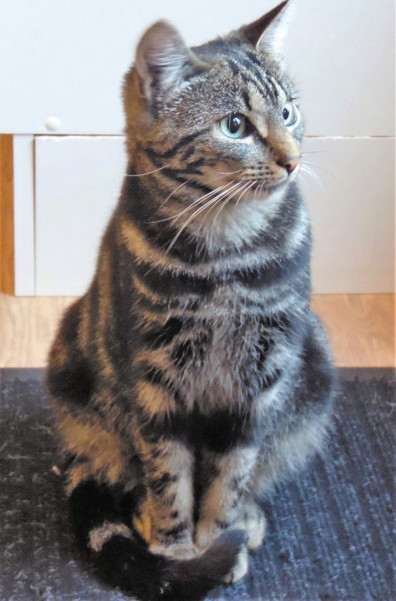 Leila - Leïla - Femelle tigrée - Type européen née en Août 2015 Sam_3124