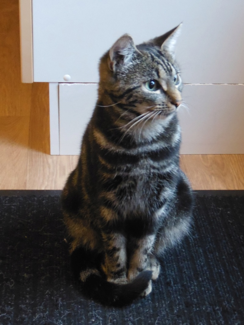 Leila - Leïla - Femelle tigrée - Type européen née en Août 2015 Sam_3125