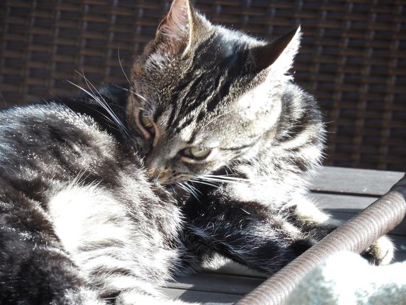 Leila - Leïla - Femelle tigrée - Type européen née en Août 2015 Sam_3128