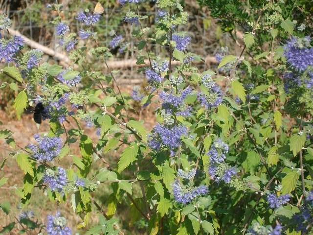 Blue..........bleu !!! - Page 12 Caryop10