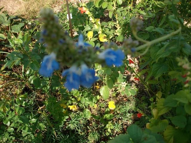 Blue..........bleu !!! - Page 12 Sauge_10