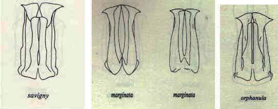 Pachnoda savigny Gory et Percheron 1833 ssp. consentanea Schaum Compar10