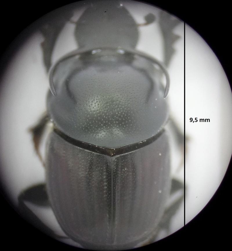 Onthophagus taurus girondins Onthop10
