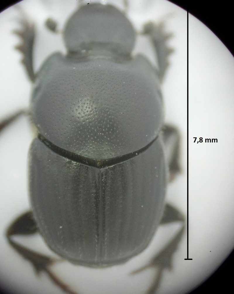 Onthophagus taurus girondins Onthop11