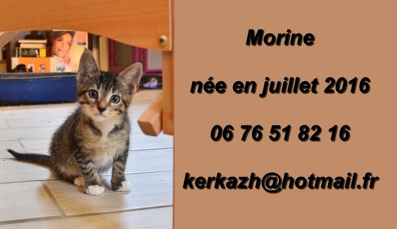 morine - Morine-chatonne brown tabby et blanc-née le 18/07/2016 Dsc_9111
