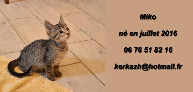 miko - Miko-chaton brown tabby-né le 18/07/2016 Dsc_9116