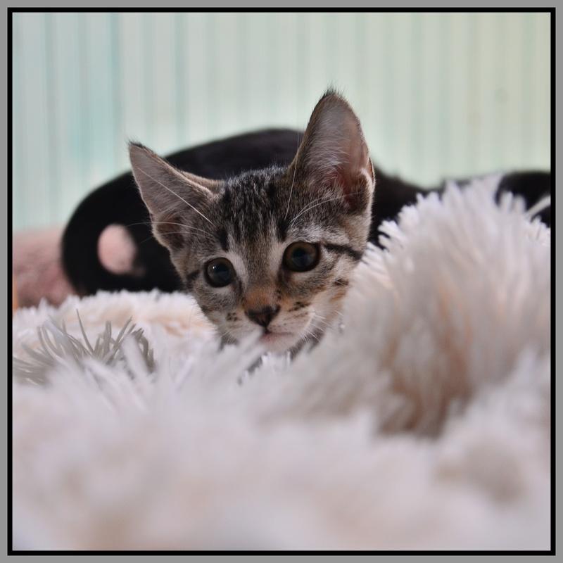 miko - Miko-chaton brown tabby-né le 18/07/2016 Dsc_9314