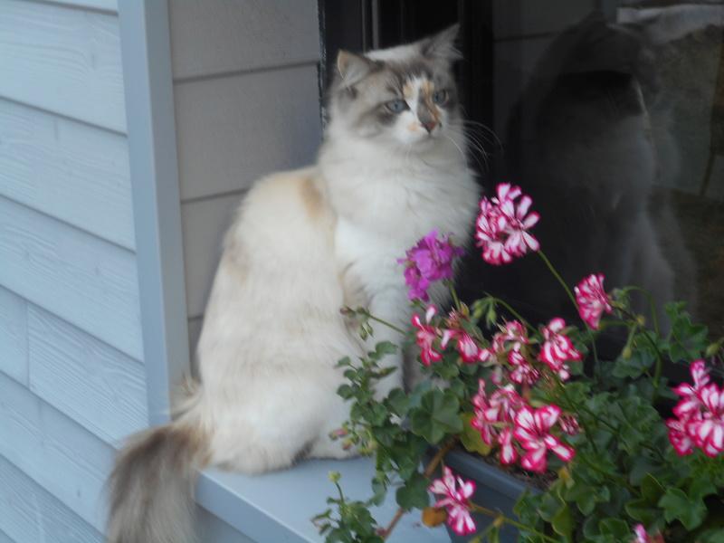 louna - LOUNA, chatonne tigrée claire, née le 01/06/2015 Dscn0710