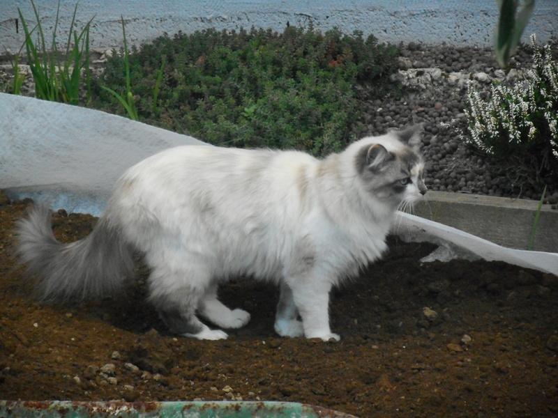 louna - LOUNA, chatonne tigrée claire, née le 01/06/2015 Dscn0810