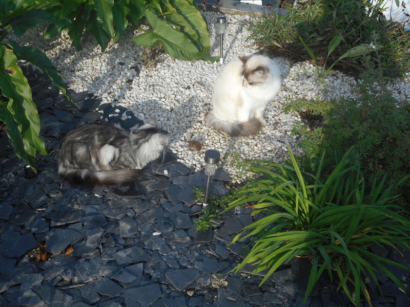 louna - LOUNA, chatonne tigrée claire, née le 01/06/2015 Dscn0815