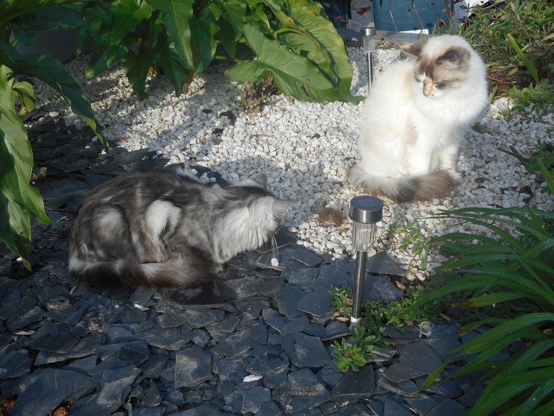 louna - LOUNA, chatonne tigrée claire, née le 01/06/2015 Dscn0816