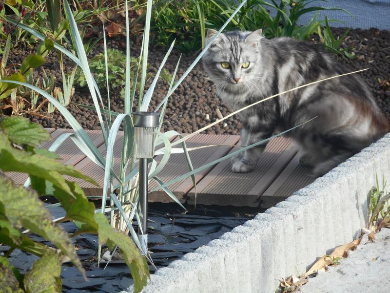 louna - LOUNA, chatonne tigrée claire, née le 01/06/2015 Dscn0817