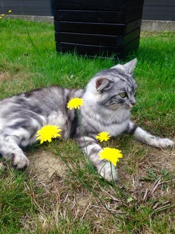 louna - LOUNA, chatonne tigrée claire, née le 01/06/2015 V_030110