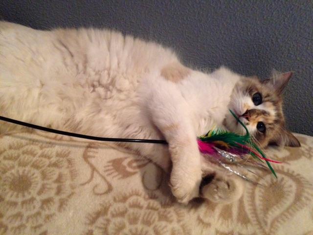 louna - LOUNA, chatonne tigrée claire, née le 01/06/2015 V_701710