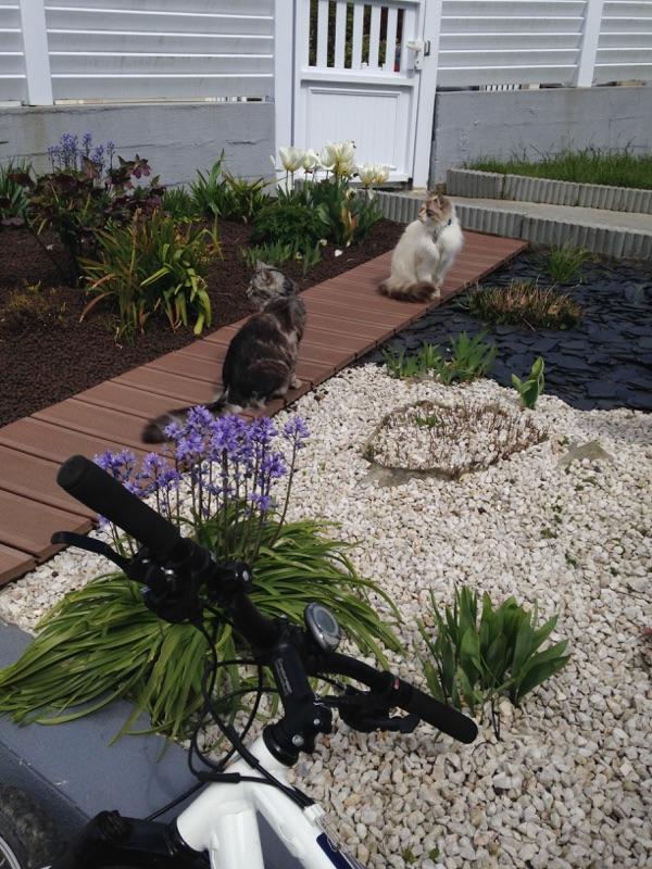 louna - LOUNA, chatonne tigrée claire, née le 01/06/2015 V_b57010