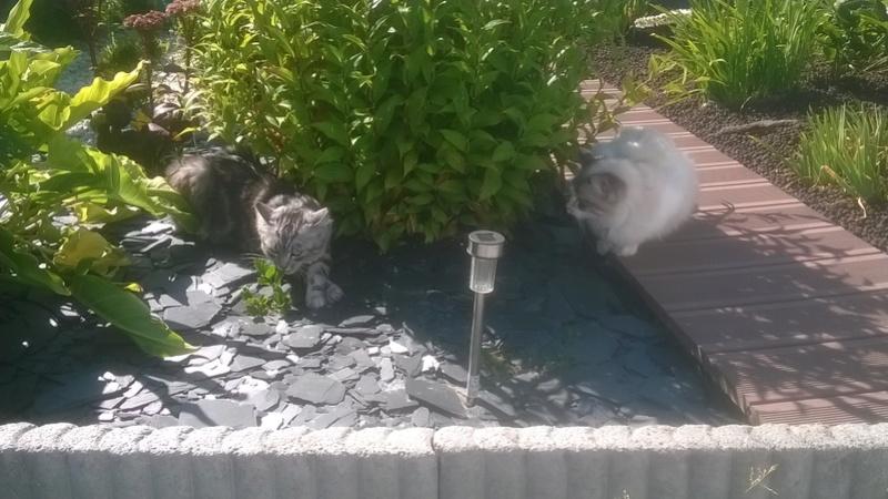 louna - LOUNA, chatonne tigrée claire, née le 01/06/2015 Wp_20114