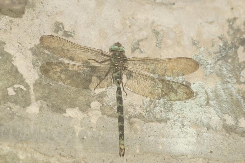 L' Aeschne paisible (Boyeria irene) Imgp5711