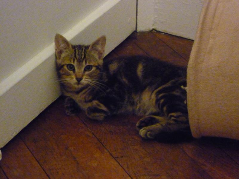 Mowgli, mâle type européen tigré né le 10/07/2016 P1150420