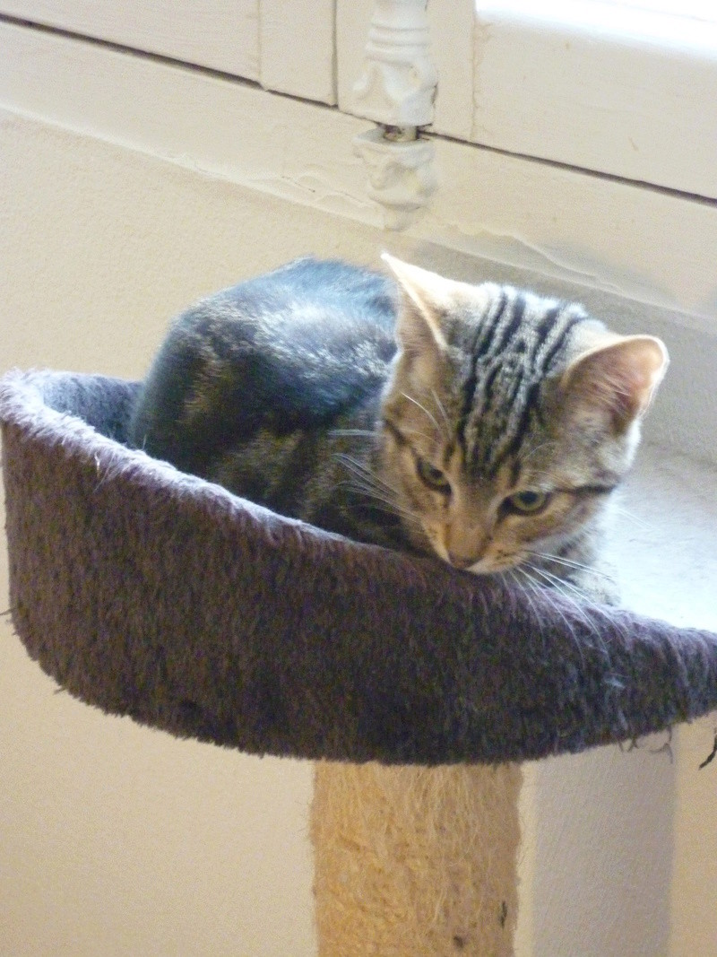 Mowgli, mâle type européen tigré né le 10/07/2016 P1150511