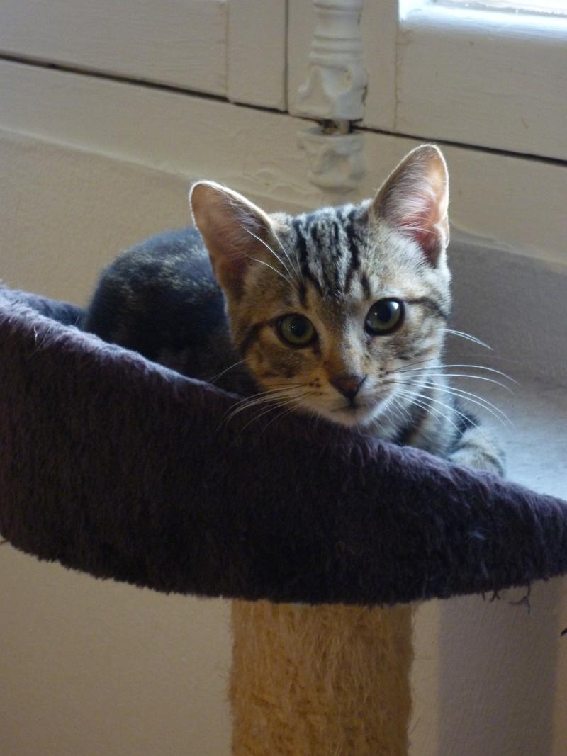 Mowgli, mâle type européen tigré né le 10/07/2016 P1150512