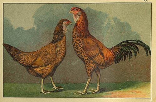 Гилянская порода кур, Gilan breed chickens - Страница 2 Gilyan10