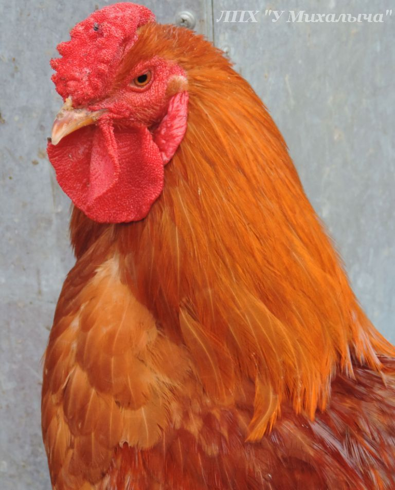 Порода кур Полтавская глинистая - Страница 10 O-231011