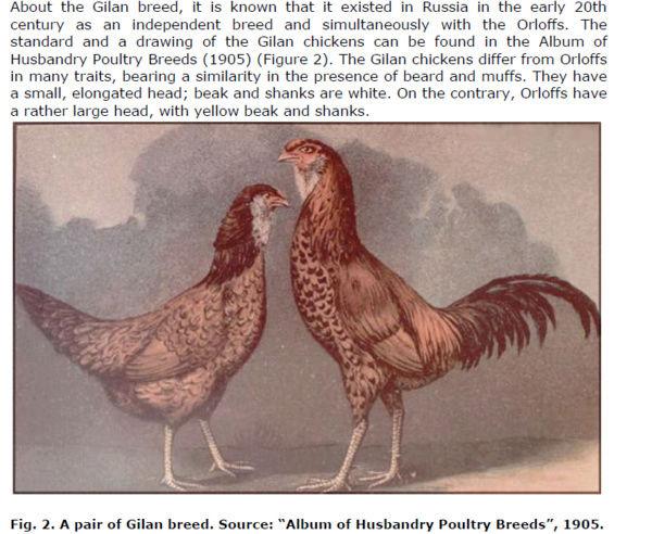 Гилянская порода кур, Gilan breed chickens Snimok10