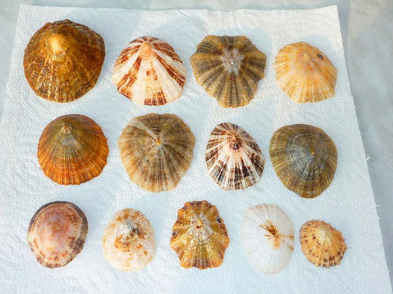 Musée des coquillages de Méditerranée de Saint Jean-Cap Ferrat (06) - Page 2 Zzpate10