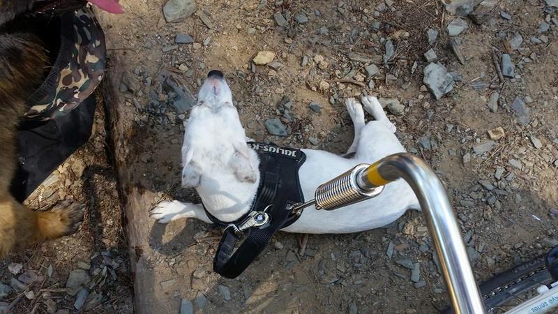 Photos de vous et vos chiens en pleine activité (course, vtt,ring, ..) 13310510
