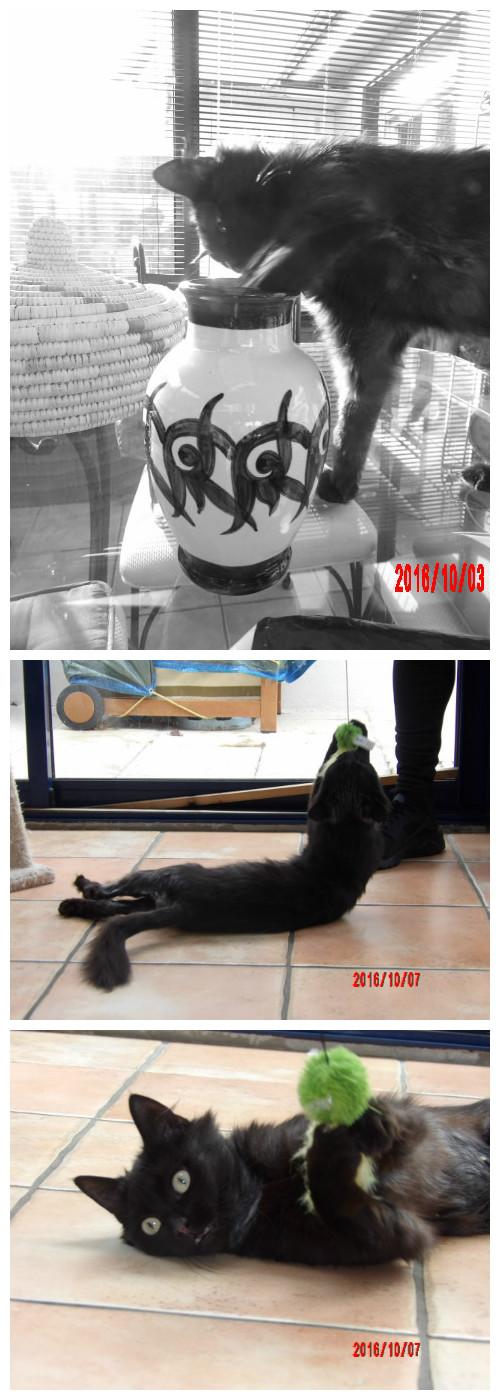 lavande - LAVANDE, FEMELLE BLACK SMOKE NOIRE MI-LONGS, NEE LE 01/09/2015 Photos11