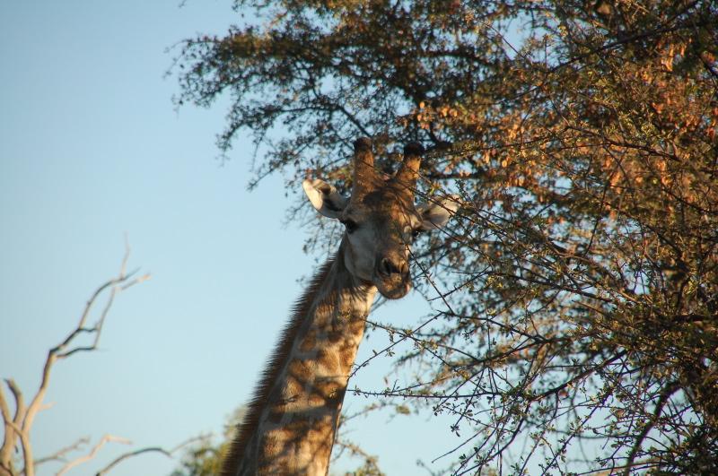 Essence de bois ? (trouvé : acacia erioloba) Namibi11