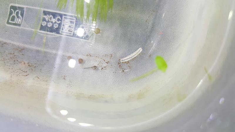 Corydoras strebaî 20161110