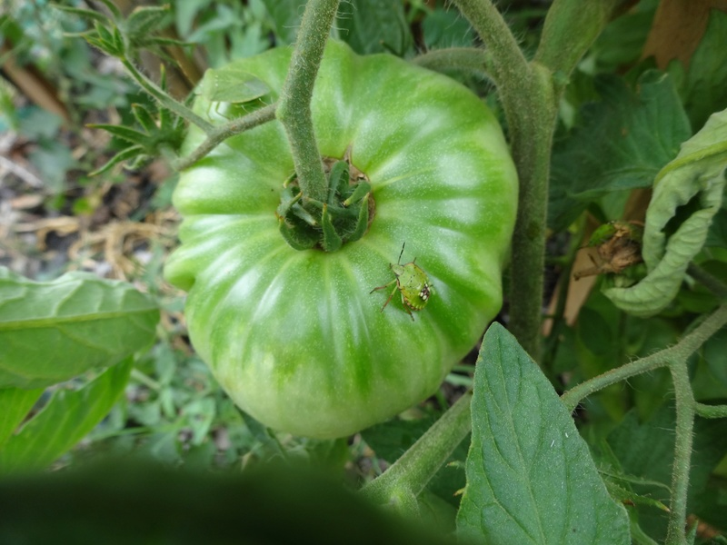 Tomates Dsc02713