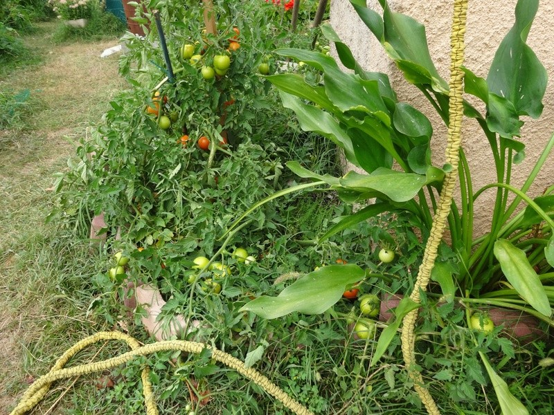 Tomates Dsc02714