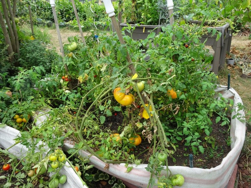 Tomates - Page 2 Dsc02715