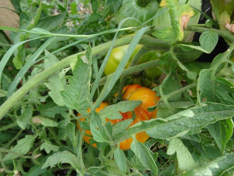 Tomates - Page 2 Dsc02717