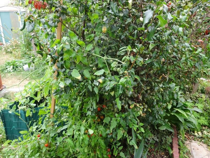 Tomates - Page 2 Dsc02719
