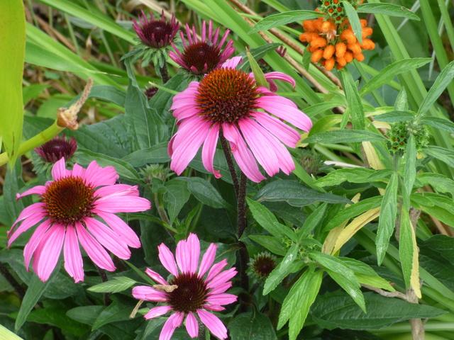 Echinacea - le genre P1050714