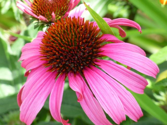 Echinacea - le genre P1050716