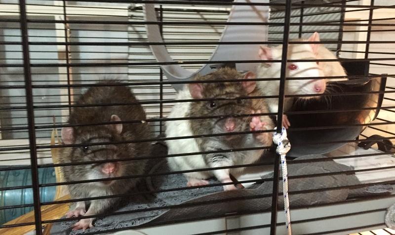 Et voici notre bébé Rat des champs : Ratatouille  - Page 2 Img_2810