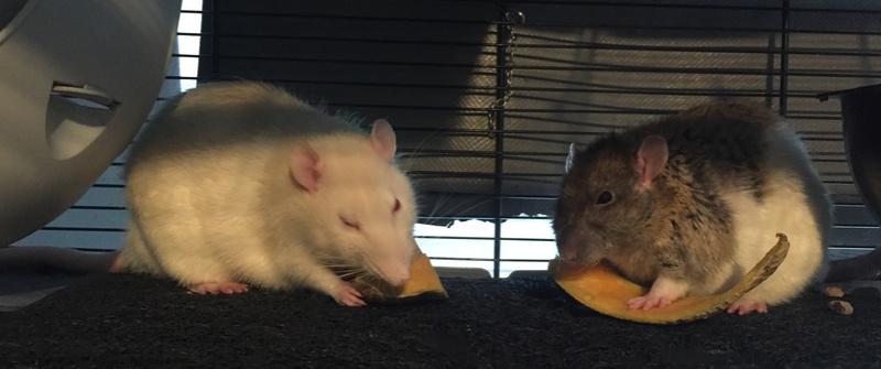 Et voici notre bébé Rat des champs : Ratatouille  Img_5311