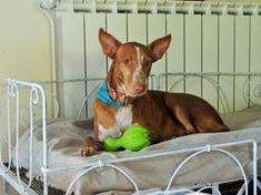 WIND , podenco tendresse 3 ans /  en accueil Wind10